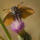 Sarı Antenli Zıpzıp Kelebeği