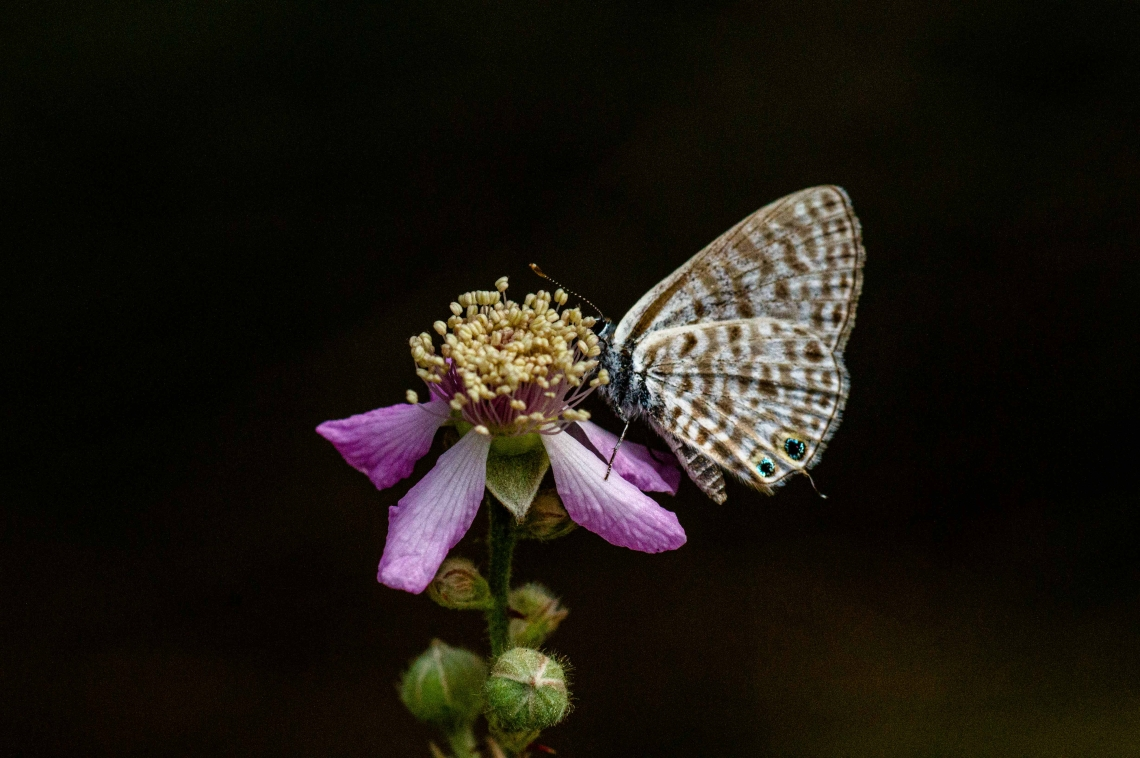 Mavizebra Kelebekleri