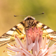 Erik Kırlangıçkuyruğu Kelebeği