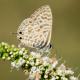 Mavizebra Kelebeği