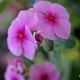 Pervane çiçeği