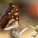 Akdeniz Hanımeli Kelebeği