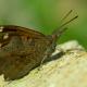 Çitlembik Kelebeği