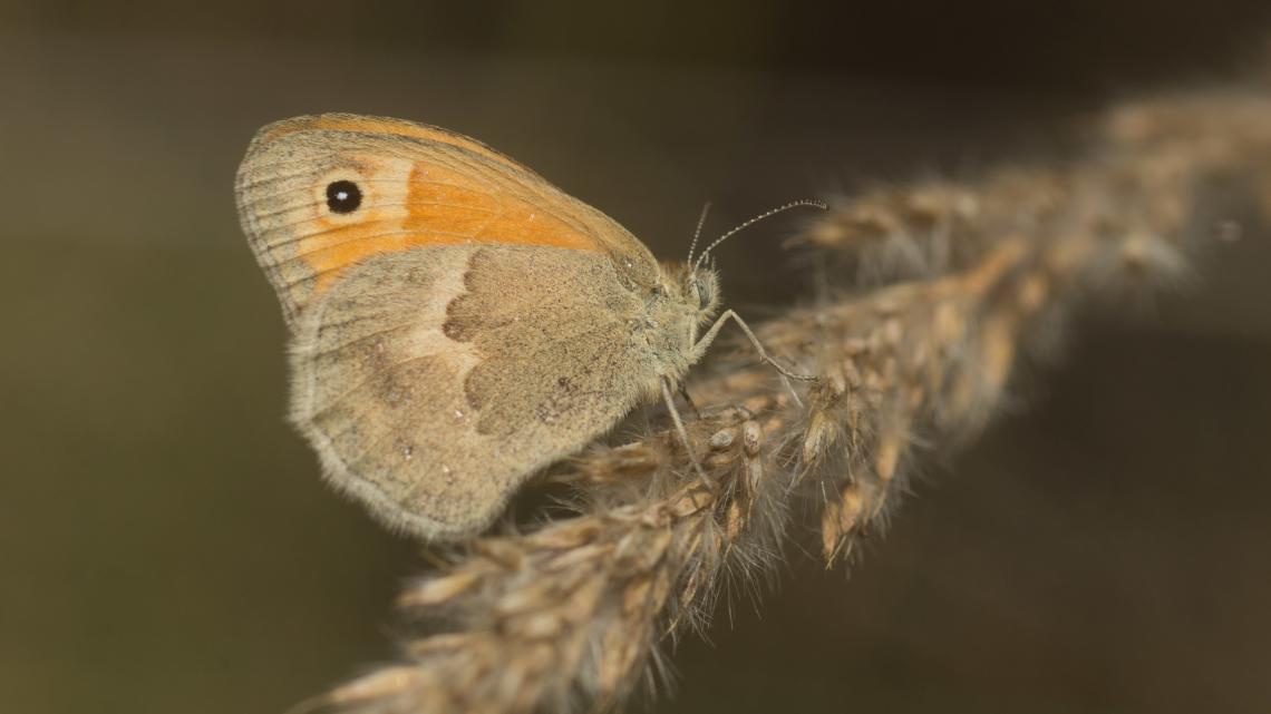 Küçük Zıpzıp Perisi Kelebeği