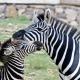 Zebra ve yavrusu