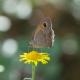 Çayır Esmeri Kelebeği