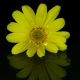 Chrysanthemun Krizantem