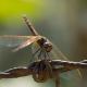 Yusufçuk/Kızböcekleri