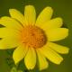 Alagömeç çiçeği