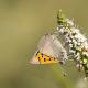Benekli Bakır Kelebeği