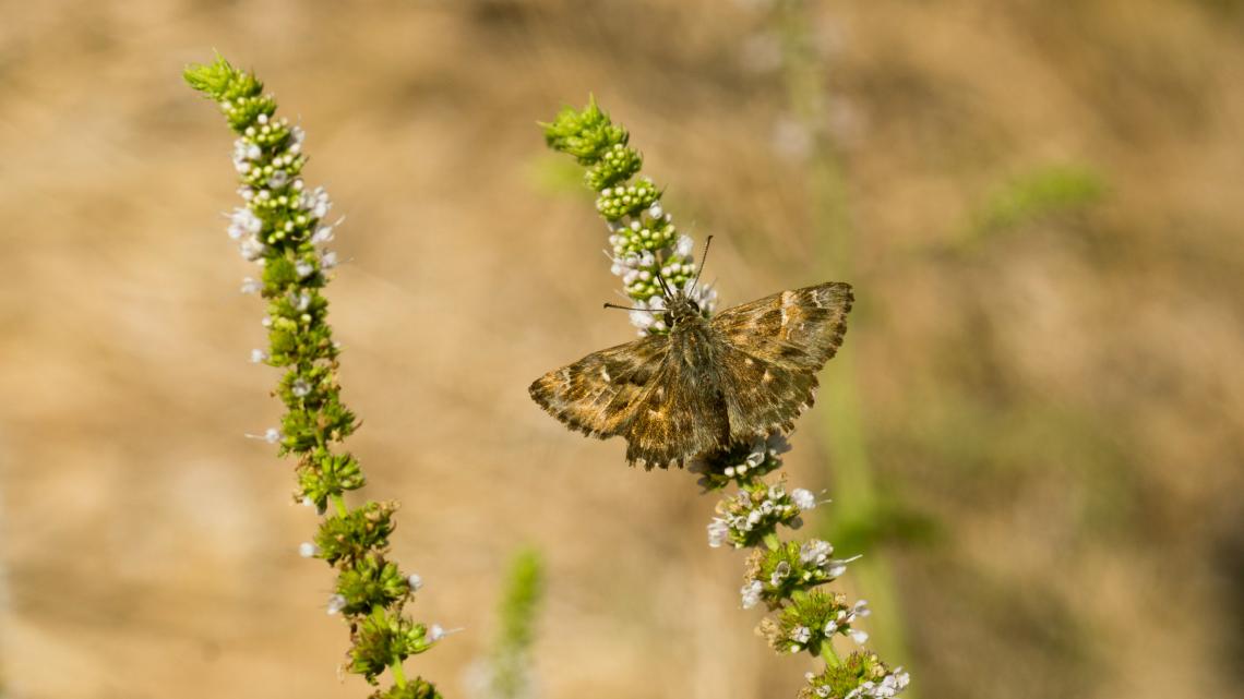 Hatmi Zıpzıpı Kelebeği
