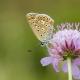 Çokgözlü Esmer Kelebeği