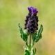 Lavandula stoechas subsp. stoechas