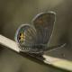 Mücevher Kelebeği