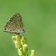 Lampides Kelebeği