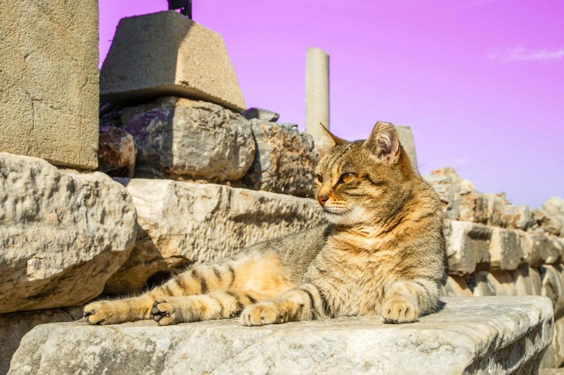 Efes'te Kedi