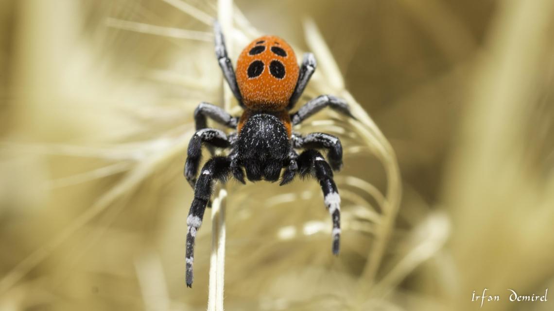 Uğur Böceği Örümceği
