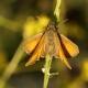 Sarı Antenli Zıpzıp / Thymelicus sylvestris