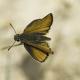 Siyah Antenli Zıpzıp Kelebeği