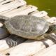 Çizgili Kaplumbağa