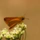 Torbalı Kelebekleri
