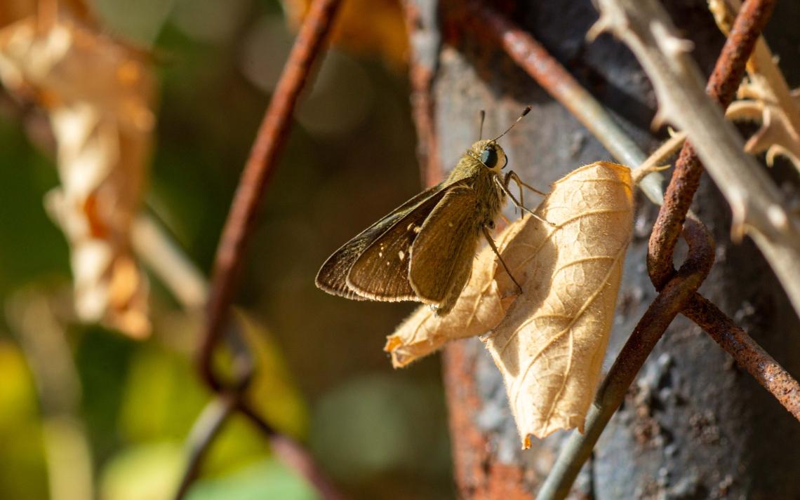 Beyaz Çilli Kara Zıpzıp Kelebeği