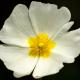 Beyaz çiçekli pamukcuk