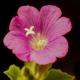 Hasanhüseyin Çiçeği