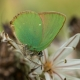 Zümrüt Kelebeği