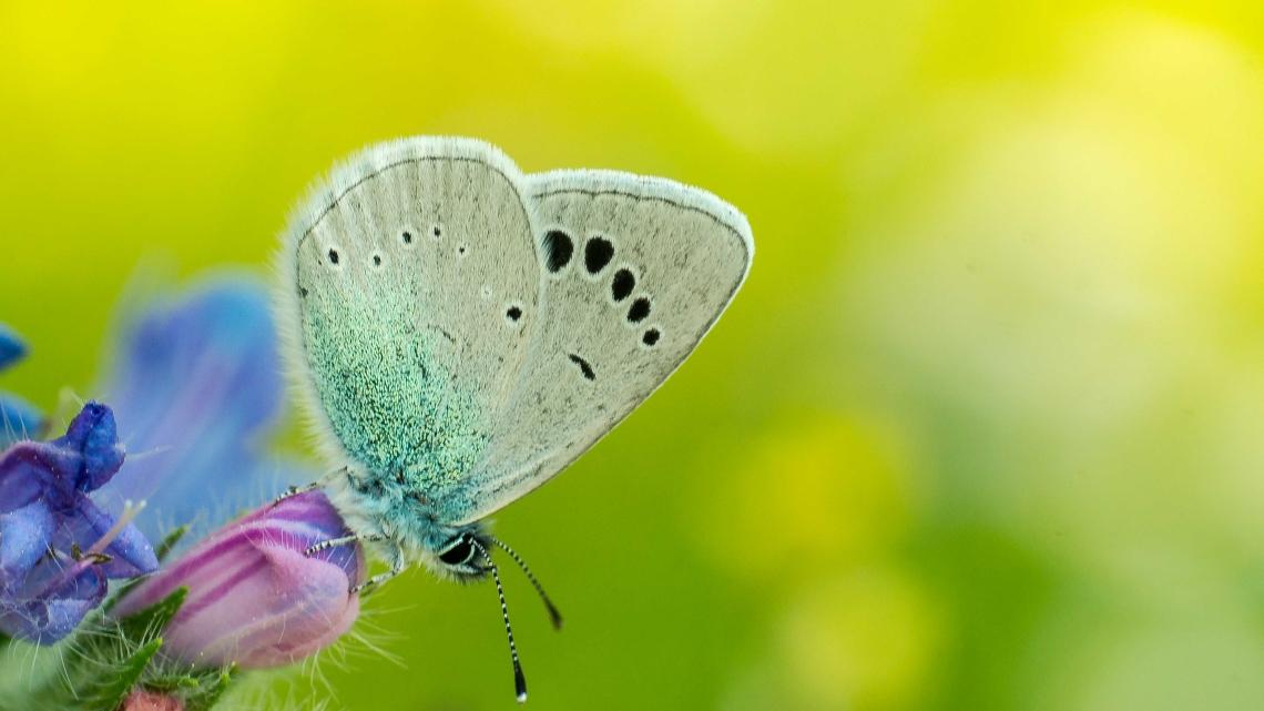Green-underside Blue