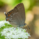 Büyük Sevbeni Kelebeği