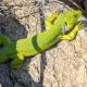 İri Yeşil Kertenkele