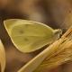 Küçük Beyazmelek Kelebeği