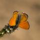 Küçük Ateşgüzeli Kelebeği