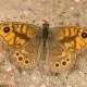 Küçük Esmerboncuk Kelebeği