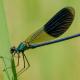 Bantlı kızböceği
