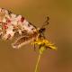 Karşıyaka Kelebekleri