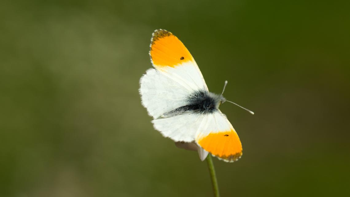 Turuncu Süslü Kelebeği