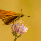 Levantine Skipper