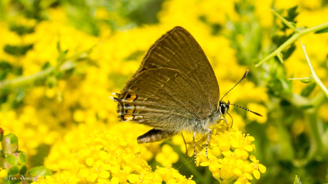 Minik Sevbeni Kelebeği