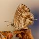 Sardunya Zebrası Kelebeği
