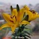 Lilie çiçeği