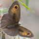 Doğu Çayır Esmeri Kelebeği