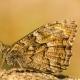 Güney Kızılmeleği Kelebeği