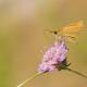 Levantin Zıpzıpı Kelebeği
