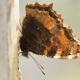 Karaağaç Nimfalisi Kelebeği