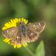 Kızıl Zıpzıp Kelebeği