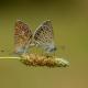 Çokgözlü Mavi Kelebeği