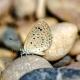 Karsandra Kelebeği