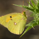 Sarı Azamet Kelebeği